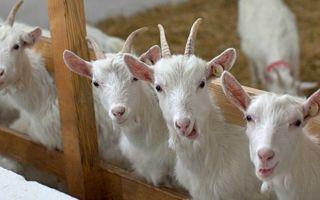 Разведение коз как перспективный бизнес: с чего начать и как преуспеть с козьей фермой