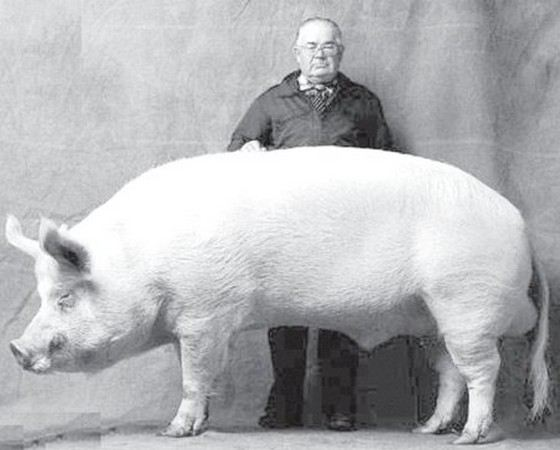 Крупная белая свинья Большой Билл