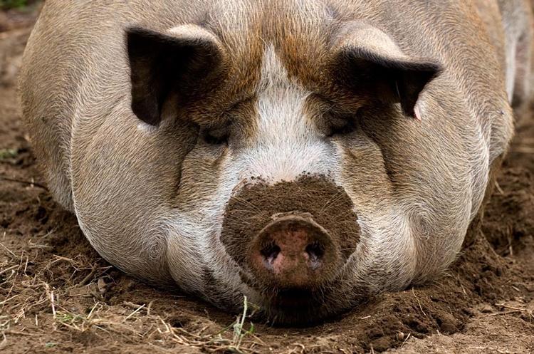 Отдых свиньи