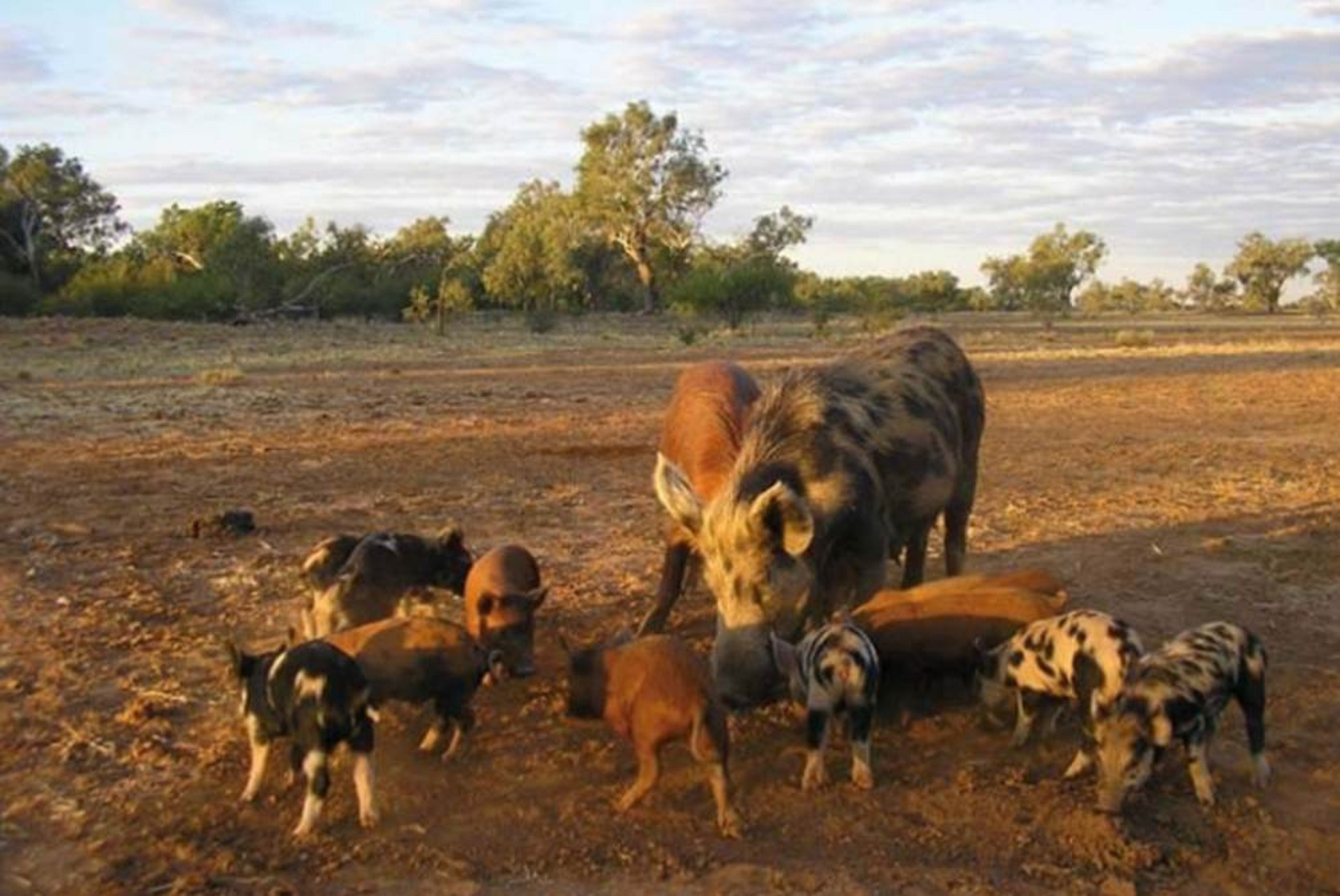 Вид дикой свиньи