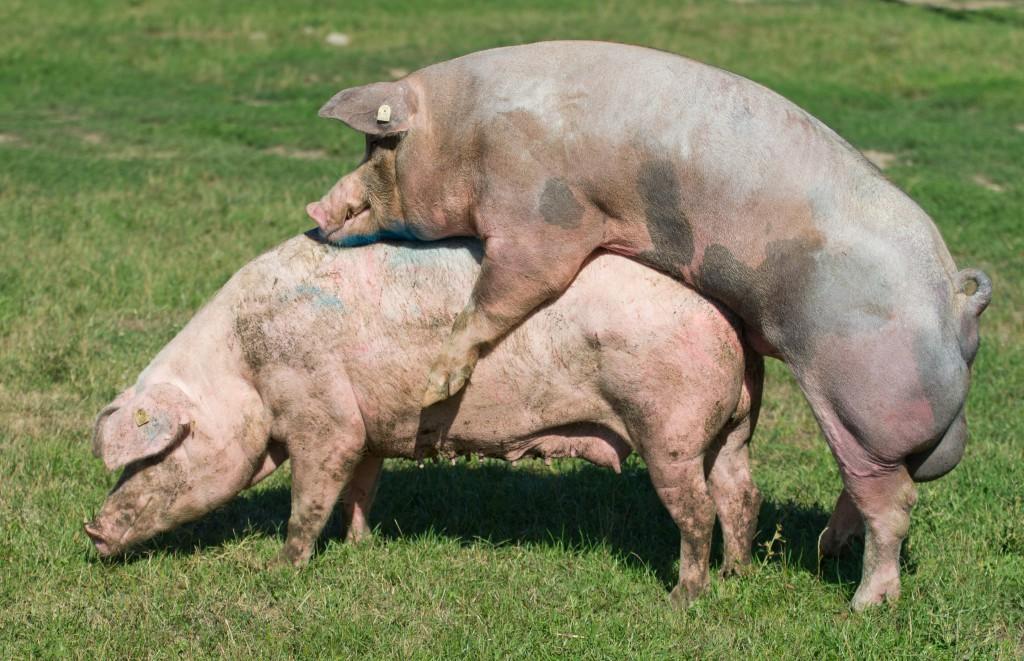 Покрытие свиньи