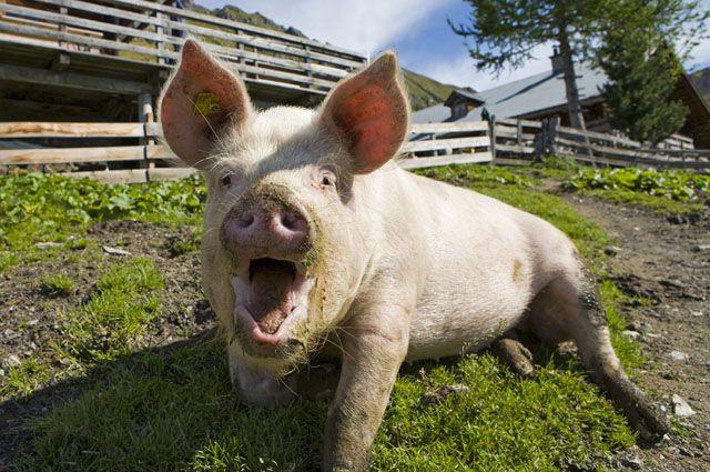 Бешенство свиньи