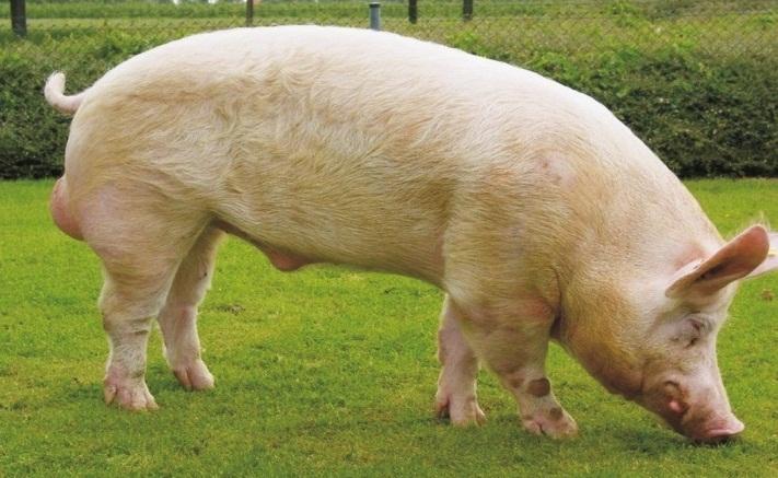 Крупная белая свинья экстерьер