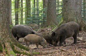 Кормежка свиней
