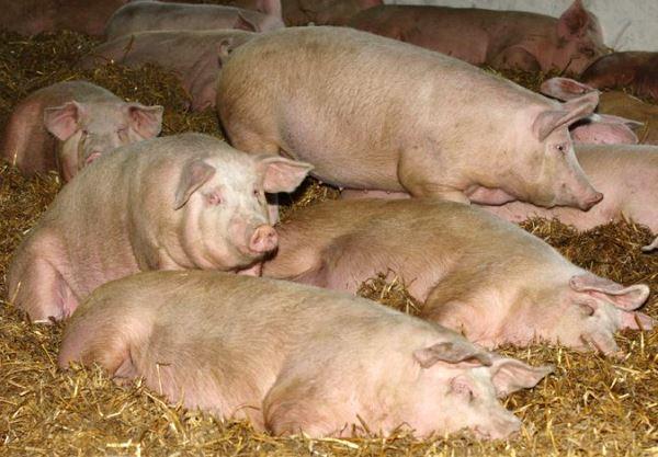 Болезни свиней и их лечение язвенная болезнь