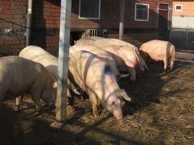 Перспективное свиноводство в домашних условиях