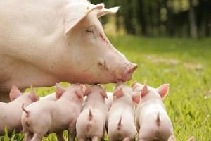 Крупная белая свинья и поросята