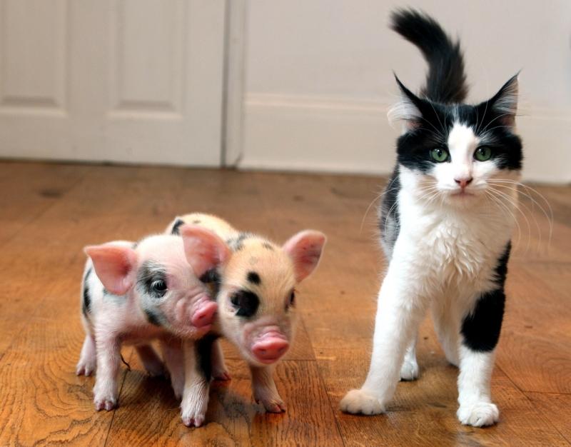 Мини-пиги и кот