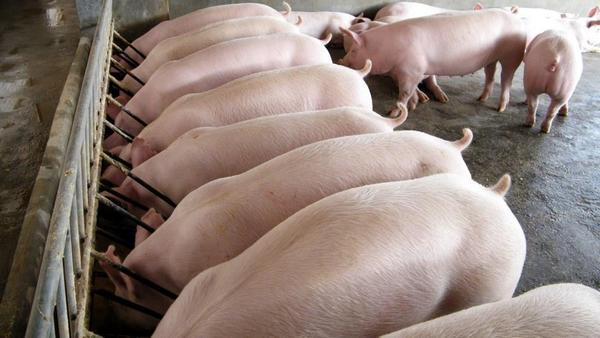 Свиньи у кормушек