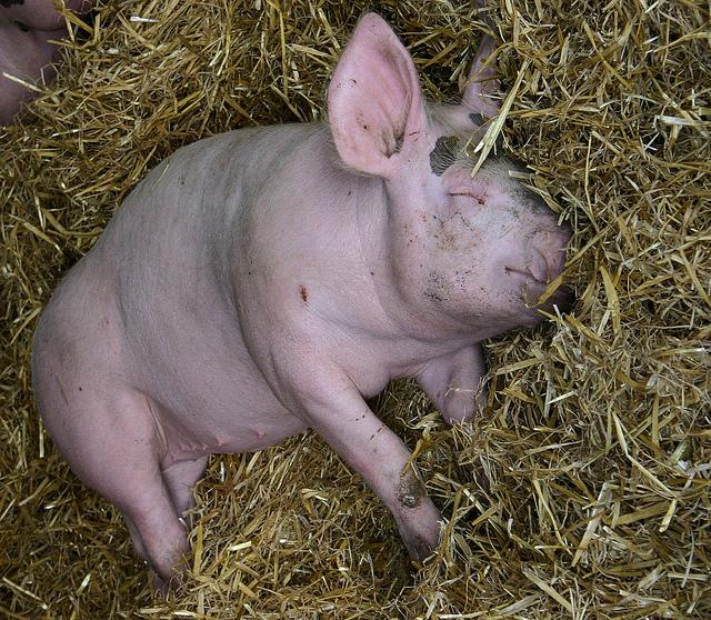 Свинья спит на сене