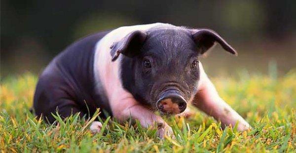 Гемпширская свинья