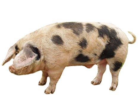 Белорусская порода свиней
