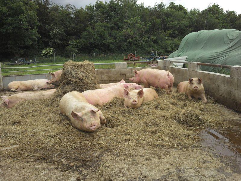 Свиньи в сене