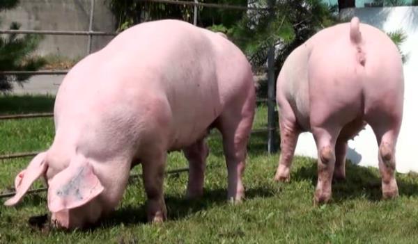 Свиньи ландрас