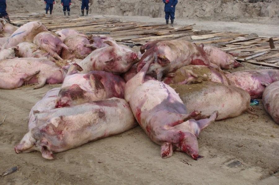 Мертвые свиньи лежат