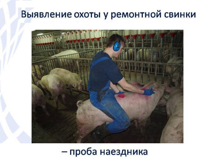 Календарь беременности свиньи