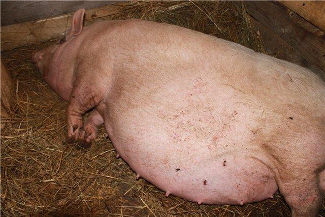 беременность свиноматки