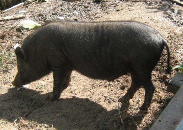 Метис свиньи