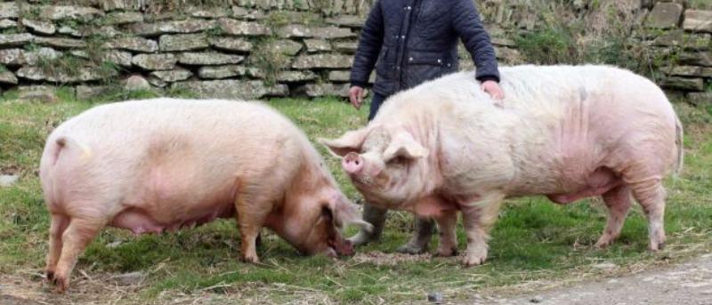 Две свиньи на вязке