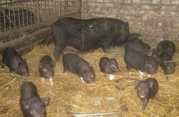 Азиатская свиноматка и поросята