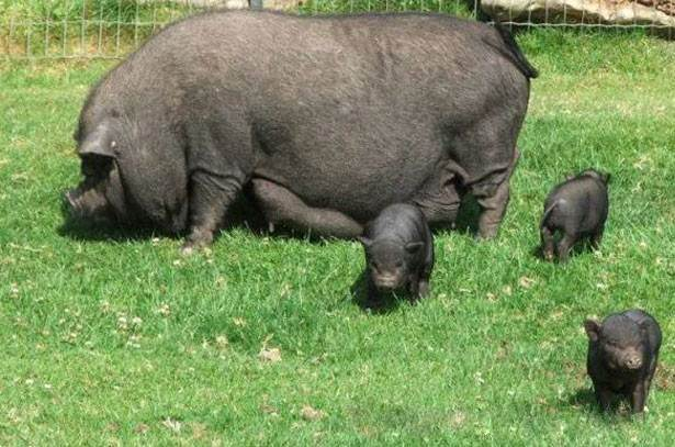 Содержание вьетнамских свиней в домашних условиях 32