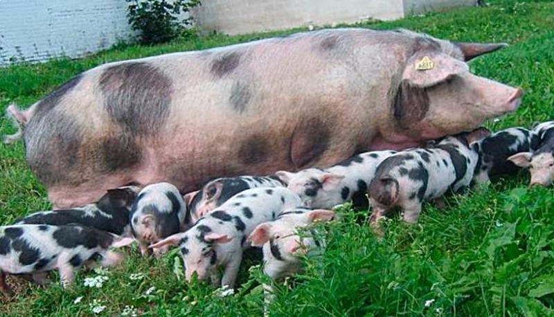 Свинья и потомство