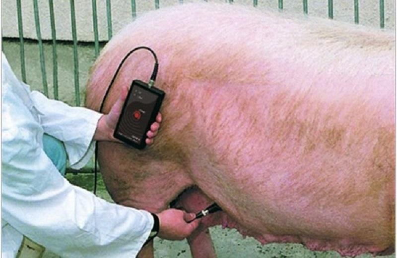Определение беременности свиньи