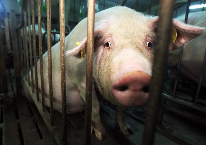 Свинья за решеткой