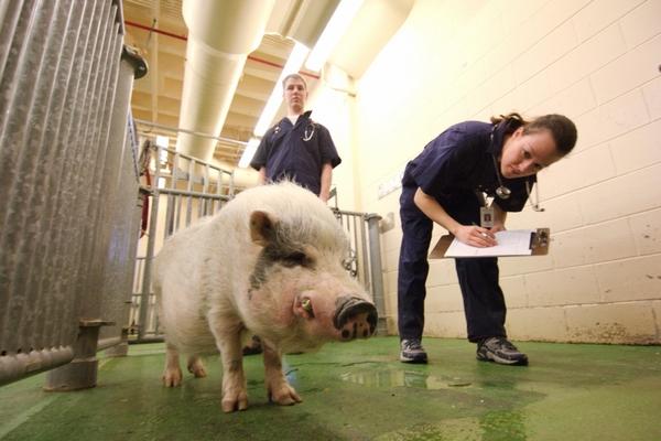 Ветеринар и свинья