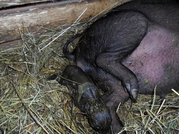 Свинья рожает