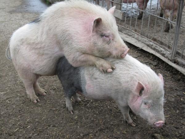 Спаривание хряка и свиньи