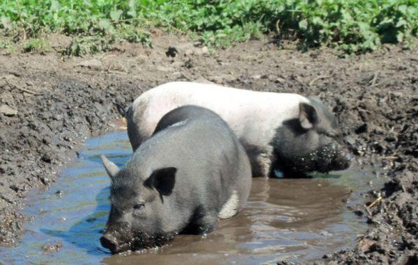 Свиньи купаются