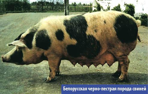 Белорусская порода
