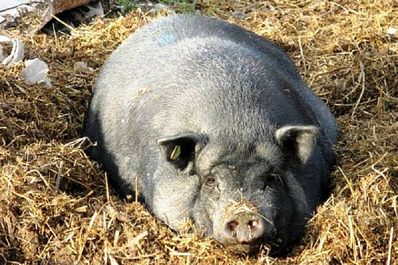 Толстая свинья