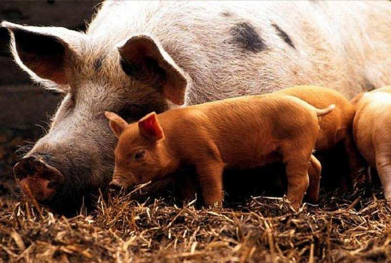 Поросенок у свиноматки