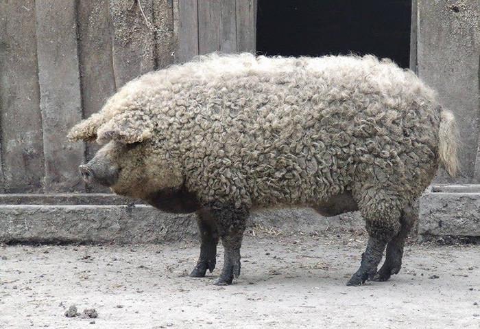Мангалицкая свинья
