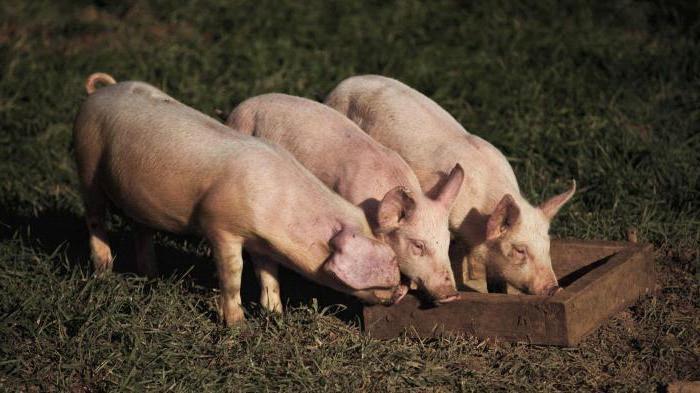 Свиньи у кормушки