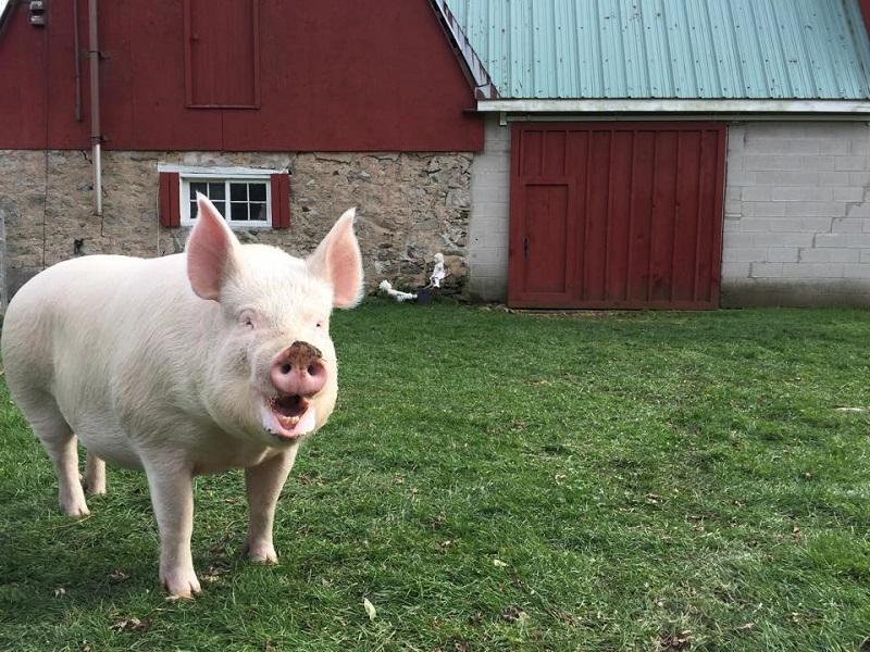 Свинья домашняя