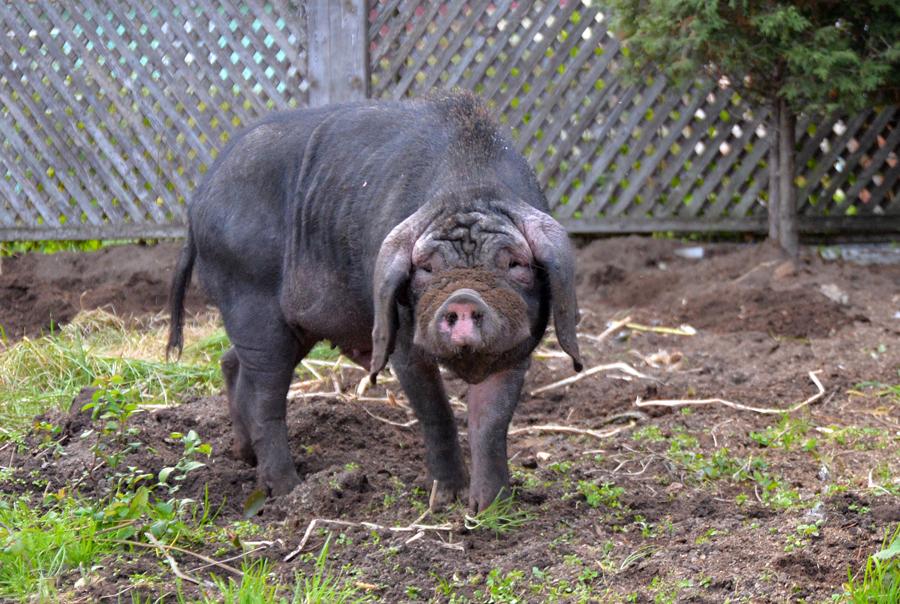 Мейшан свинья