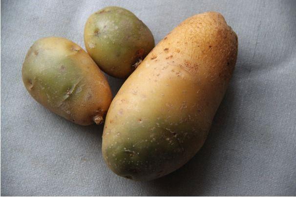 Позеленевший картофель