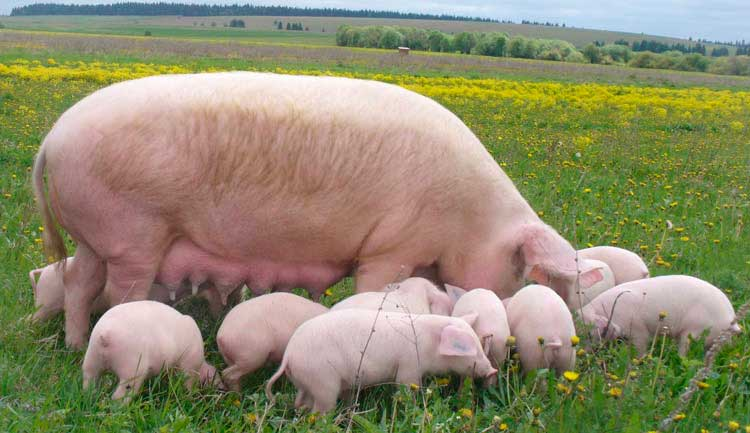 Свиноматка и поросята в поле