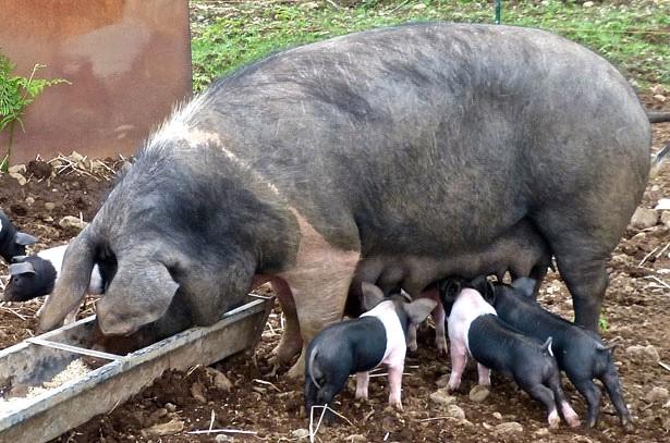 Свиноматка у кормушки