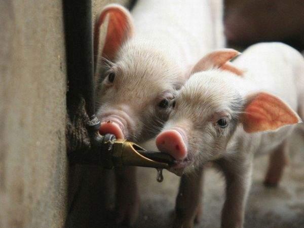 ниппельная поилка для свиней