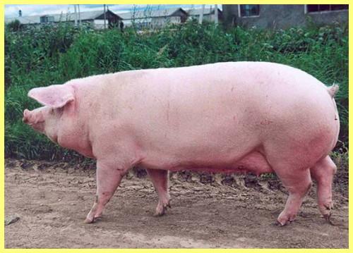 Английская белая свинья