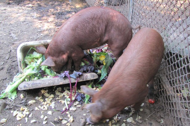 Свиньи едят сочный корм