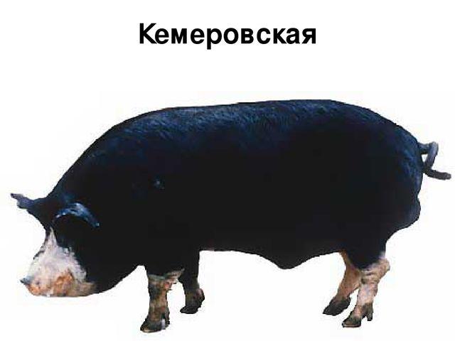 Кемеровская порода
