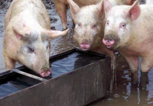 Свиньи у поилки
