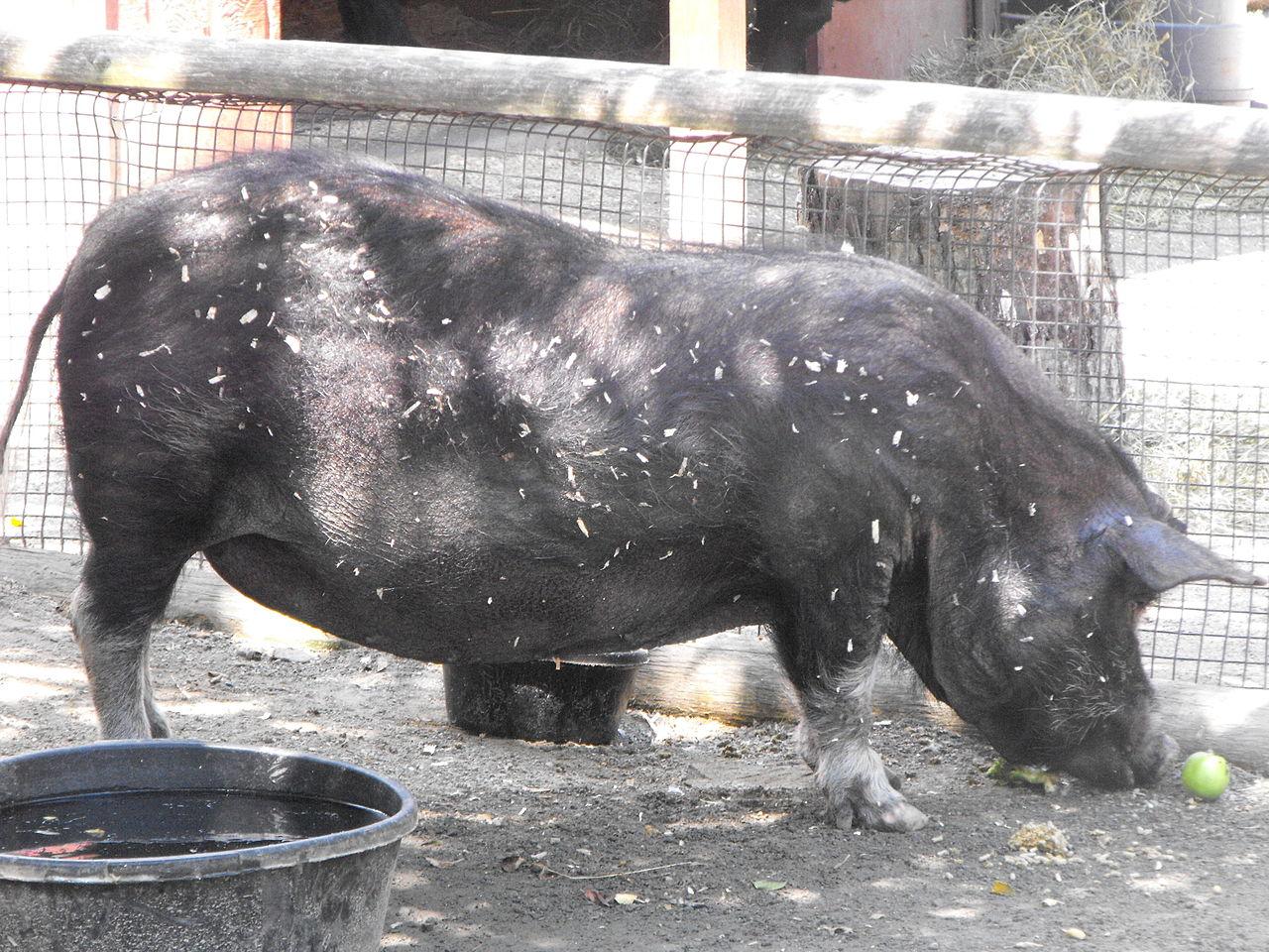 Гвинейская свинья