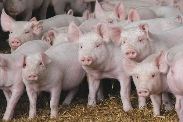 Молодняк свиней