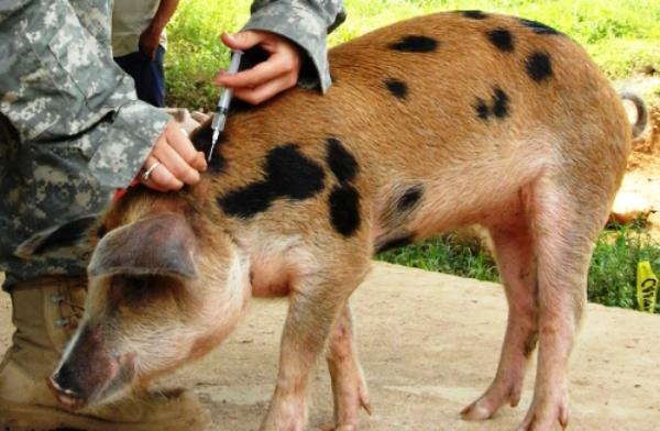 Укол свинье в шею